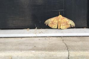 Moth on doorframe, Missouri